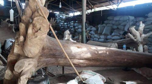 印尼加里曼沈香、沈香木、長400CM