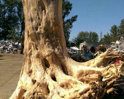 百年原始林美西側柏大樹頭,珍稀產品,請來店鑑賞